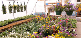 OUR GREENHOUSE IS OPEN! We have beautiful hanging baskets plus a wide range of bedding plants. Pop in and pick some up today!